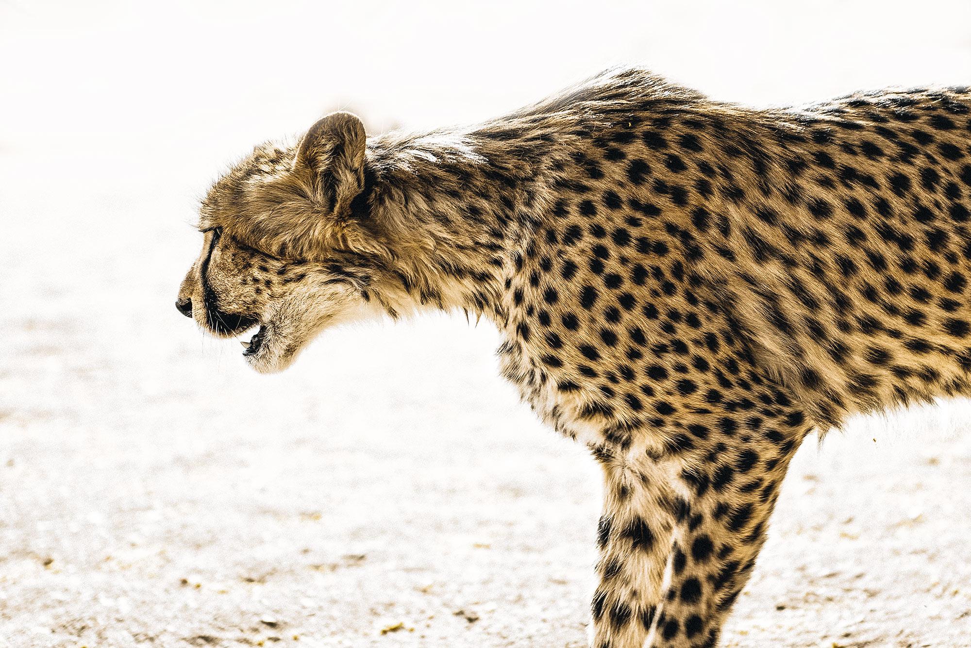 Cheetah-namibia-wildlife-africa.jpg