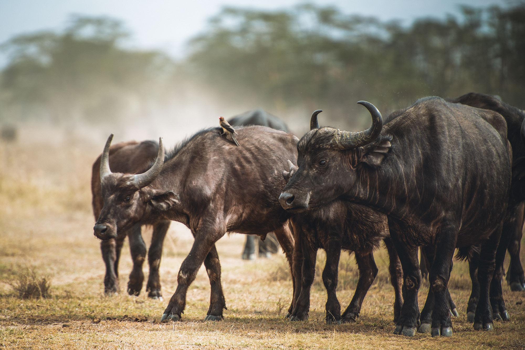 buffalo-herd-lake-nakuru-kenya-africa.jpg