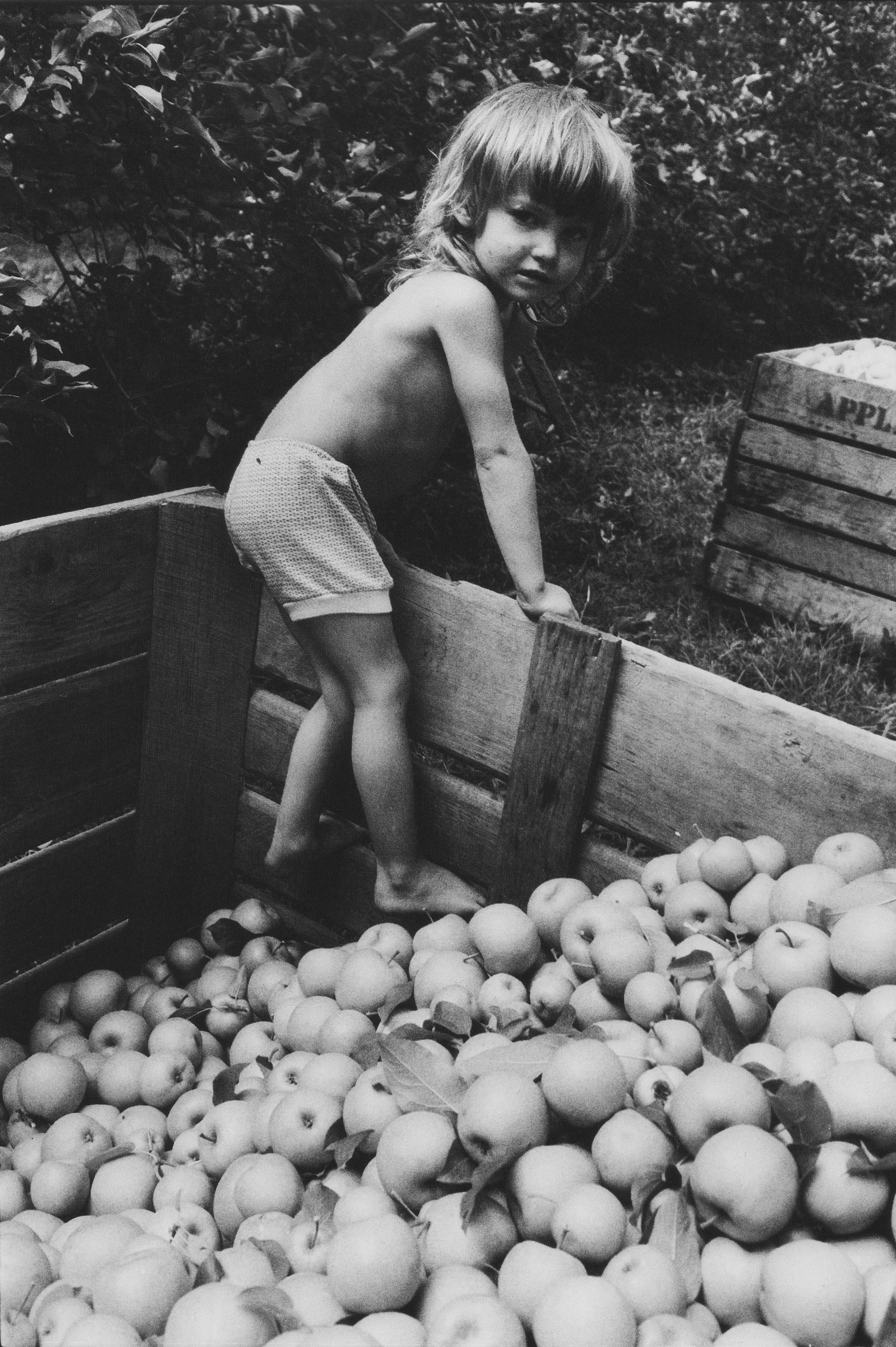 Tina climbing in apple bin to remove leaves and twigs from apples while parents pick nearby, Dana, NC.