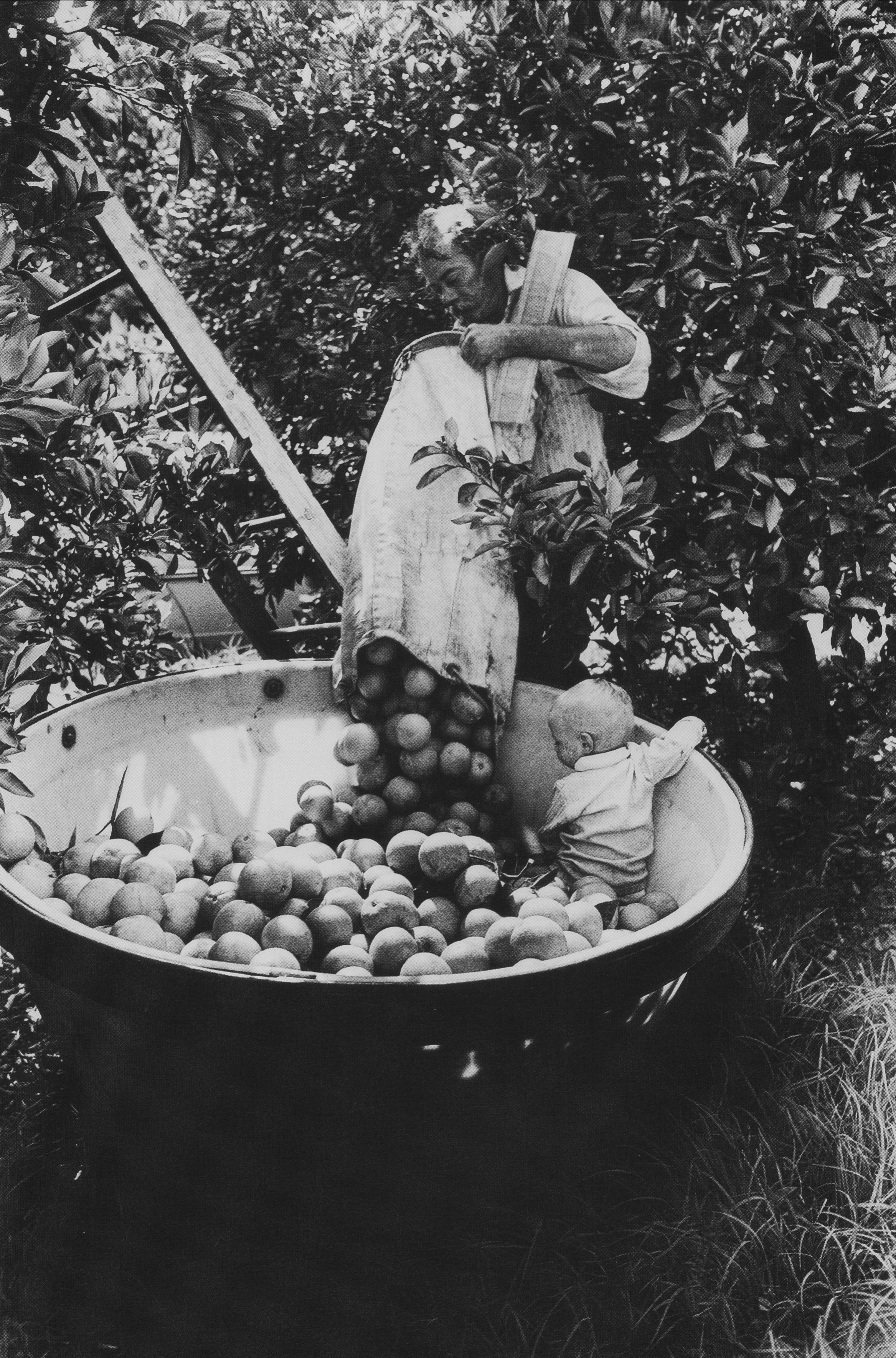 Calvin Tindal emptying citrus pick sack while Shannon watches oranges fall into plastic tub, Loxahatchee, FL