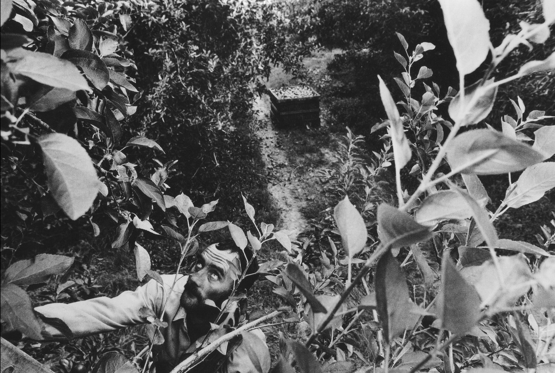 L.H. Tindal climbing wooden ladder to pick apples, near Saluda, South California.