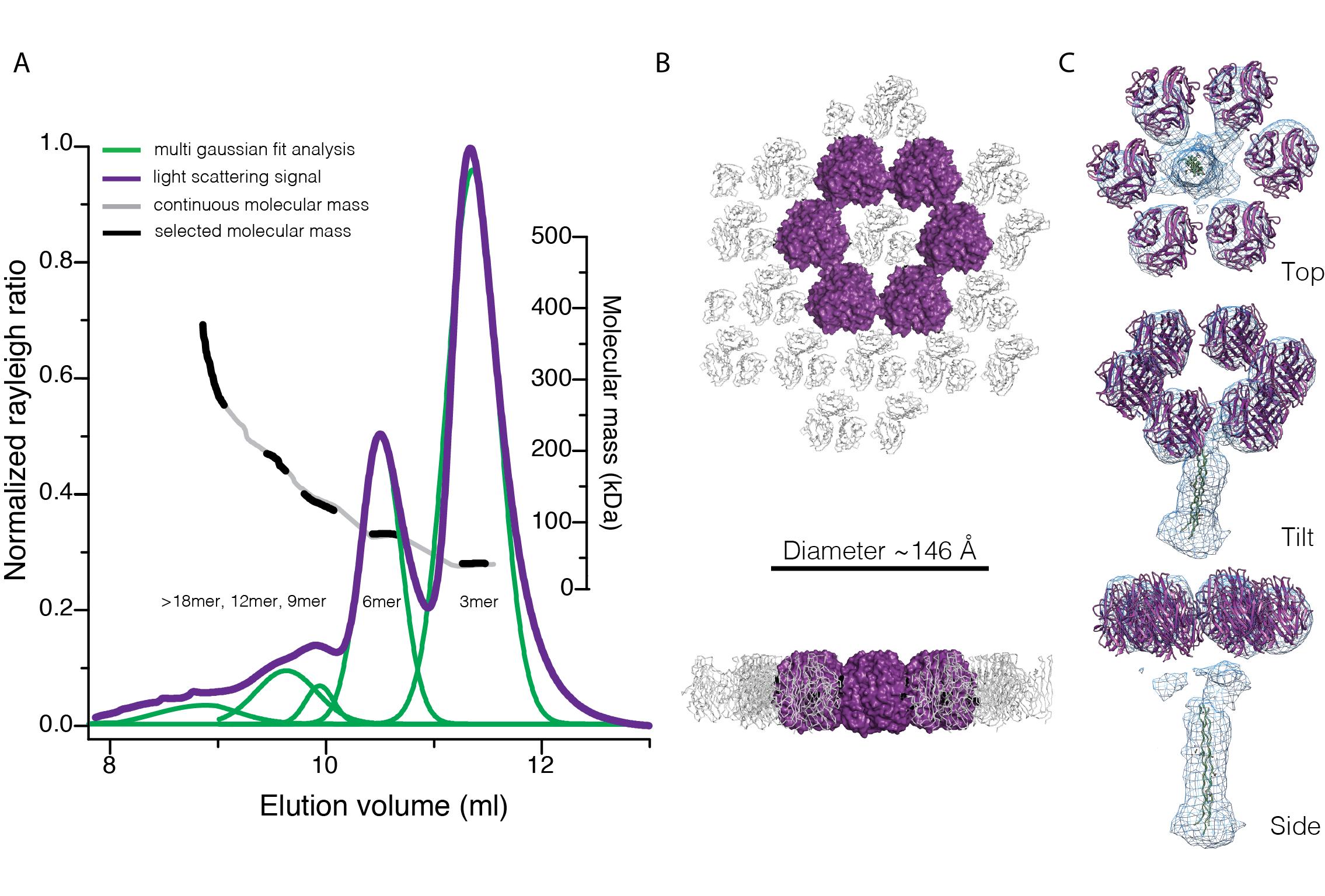 Oligomers of the C1QL3 Globular C1q Domain