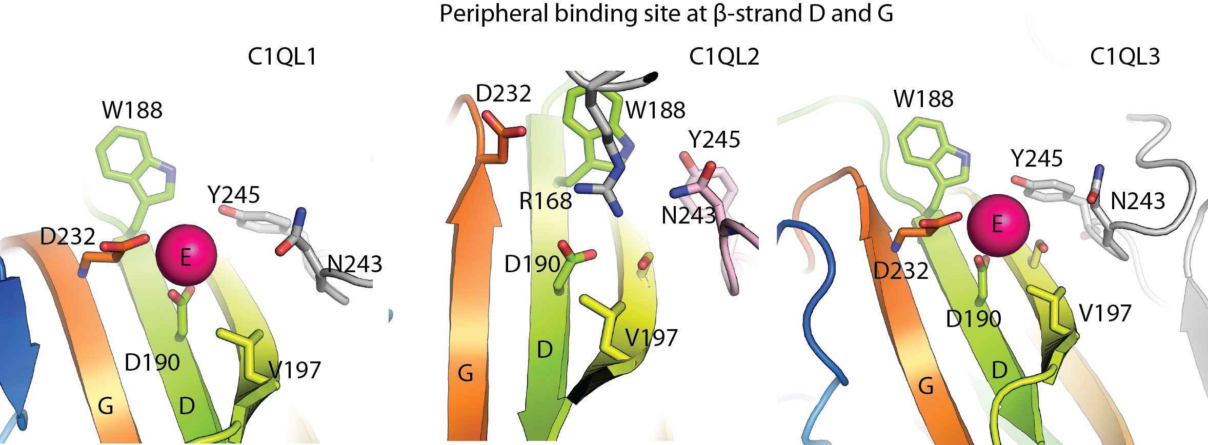 C1QL protein Ca2+-binding sites at β-strands D and G