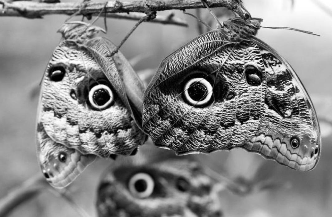 Owl Eyes.png