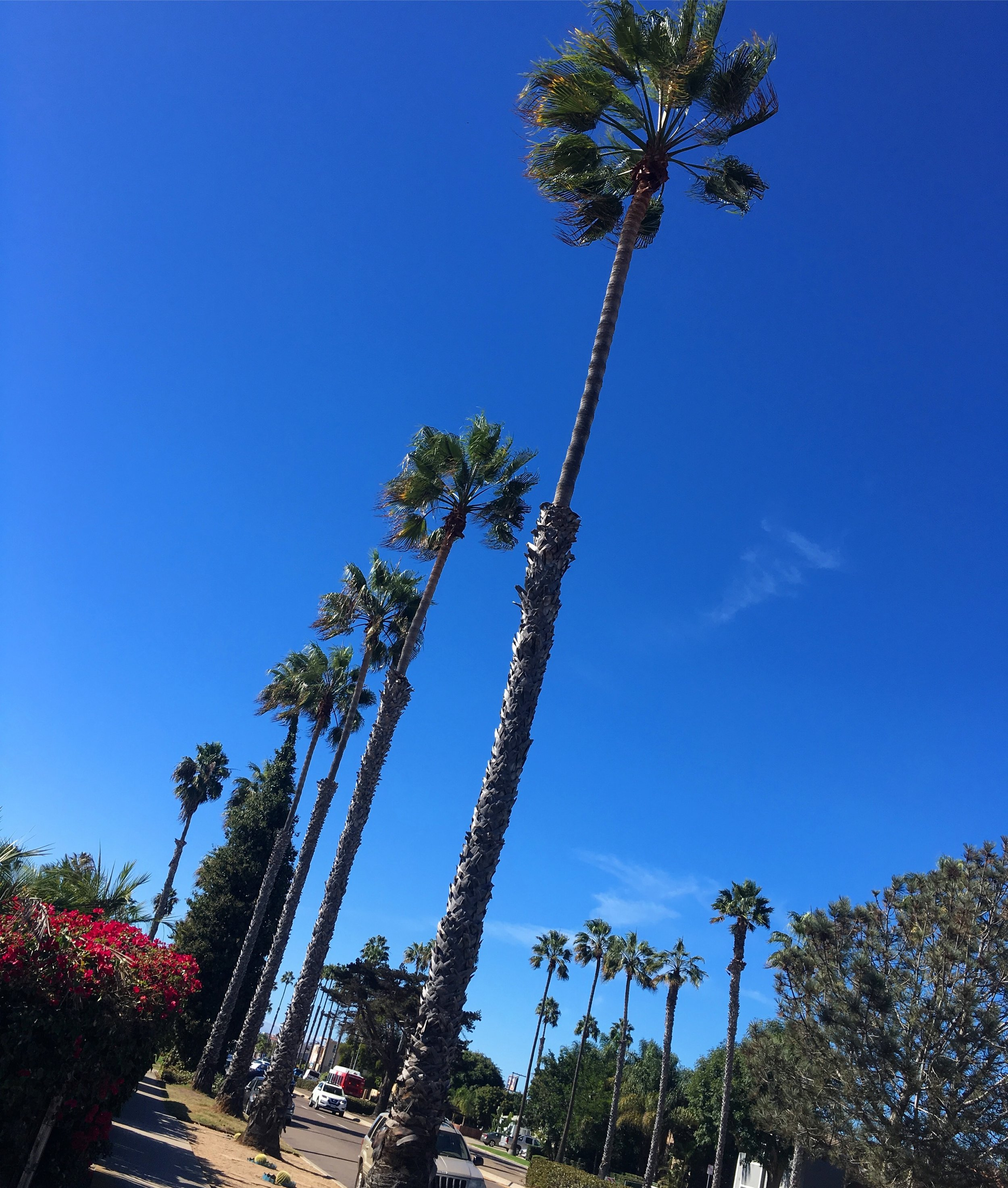 Goaltraveler_San diego_palm trees.JPG