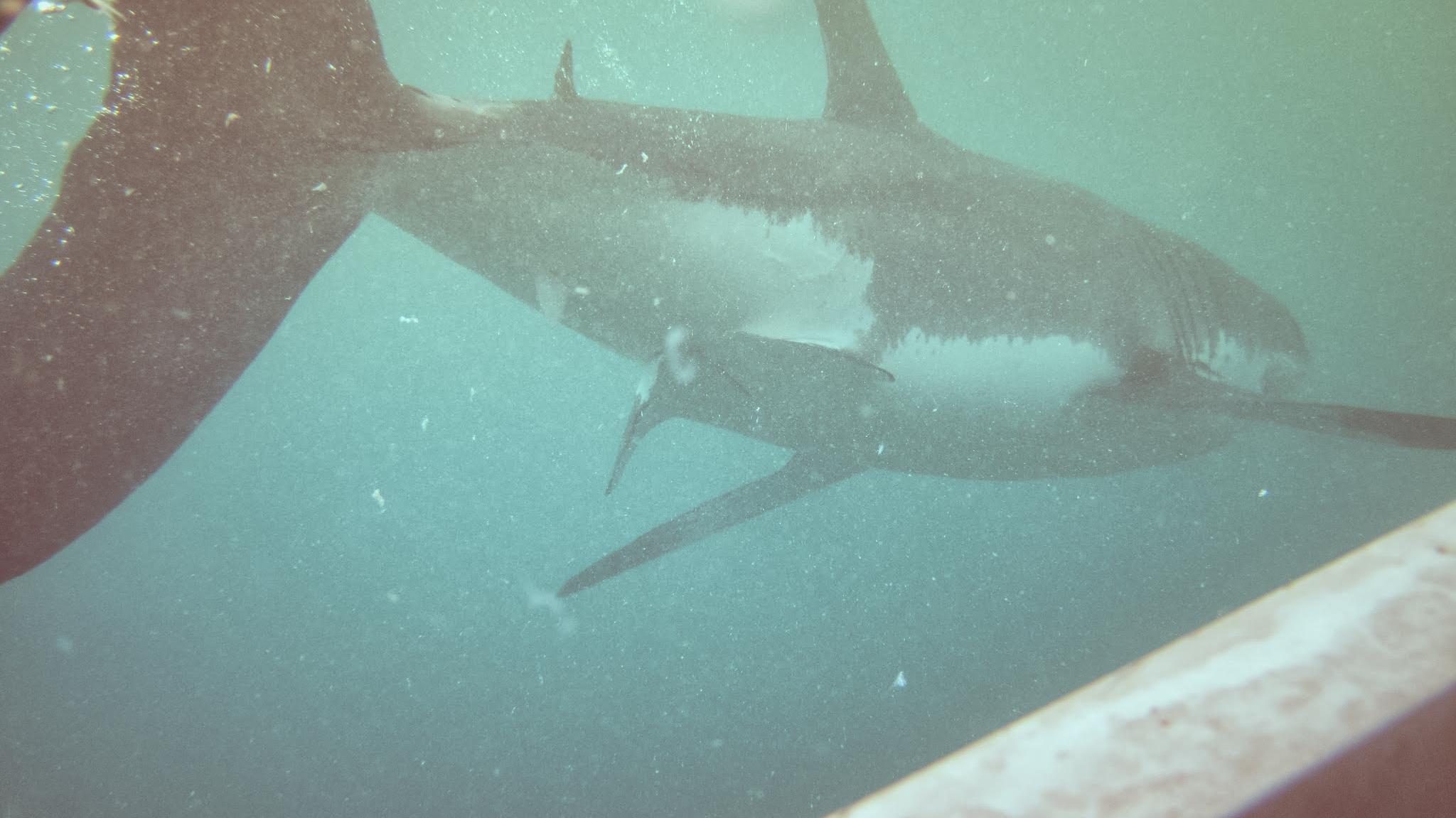 GOAL TRAVELER_GREAT WHITE SHARK_SOUTH AFRICA.jpg