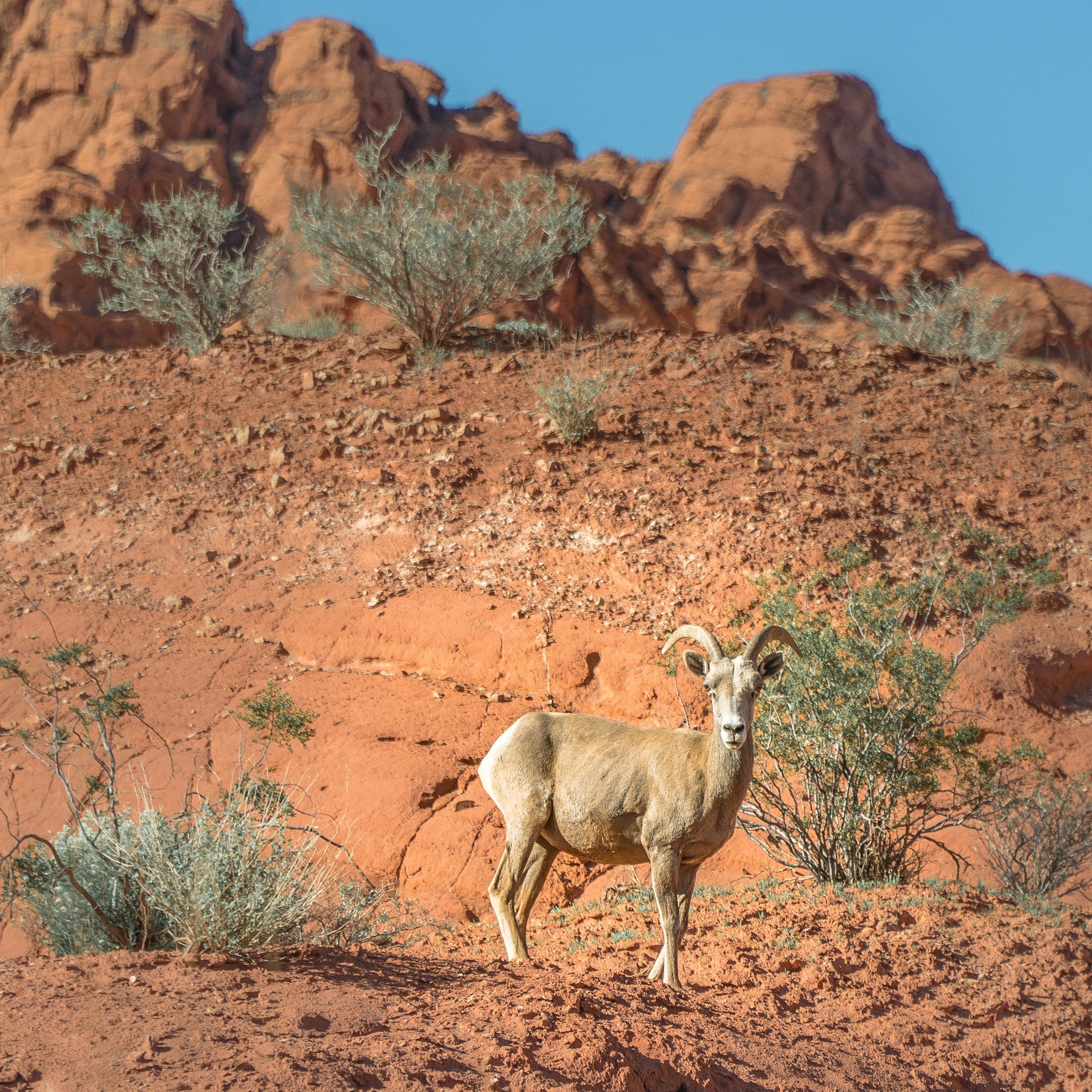 Goal_Traveler_Sheep_wildlife_Nevada.jpg