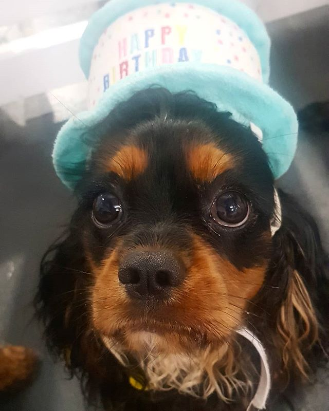 💌🍰 Happy Birthday Sweet Harry! 🍰💌 We are so lucky to be loving you and looking after you each time you visit us at doggy daycare! @acavaliercalledharry