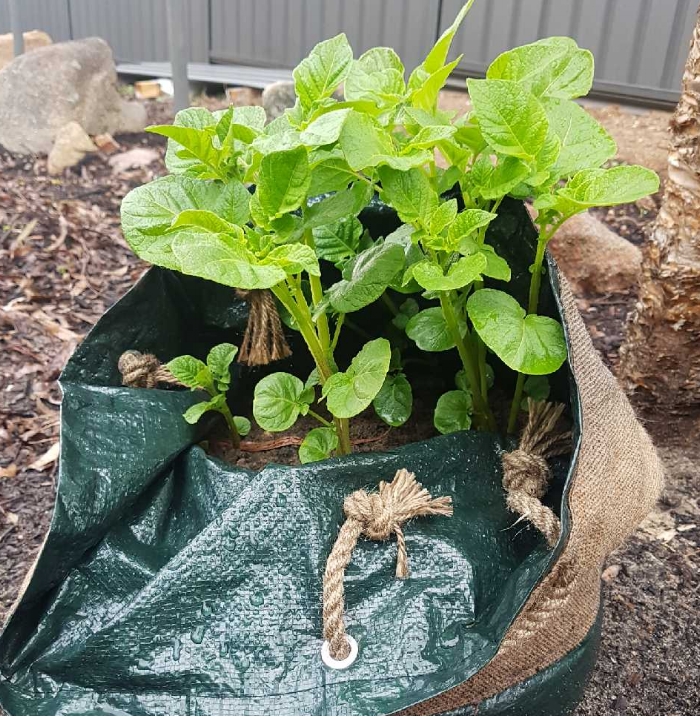 Growing Potato's in bags! - What you need to do:Place a planter bag in a spot were it will receive full sunlight.Place potato's at the bottom of the bag. Fill the bag with soil half way. Water regularly. Watch for them to sprout, as they grow larger continue to place more soil into the bags. Beware of pest's getting into your bags. In a few months they should be ready to harvest.