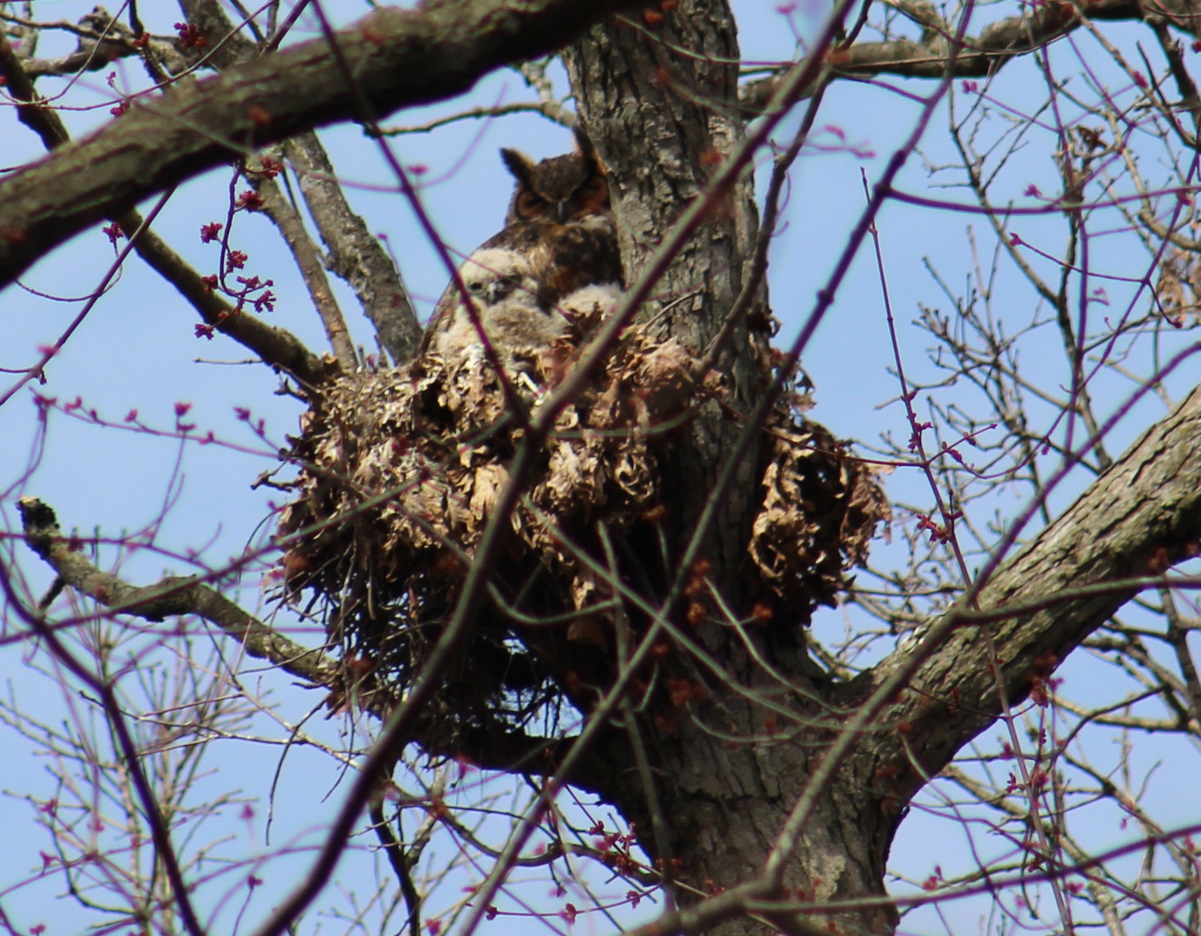 The Great Horned Owl begins its breeding season in Michigan while the landscape is still covered in snow. A study in perseverance and survival, the owlets often hatch before it is officially Spring. This family of GHOW live in the Eberwhite Woods, where Strelow and others in the community walk and take groups of elementary school children on nature walks. Teaching kids about nature helps their young brains grow, and connects them to their surroundings. In a world increasingly steeped in technology and social media, experiencing and learning about nature is crucial to developing critical thinking skills in the real world. To learn more about Great Horned Owls and their role in urban ecology see University of Michigan's  BIOKIDS .