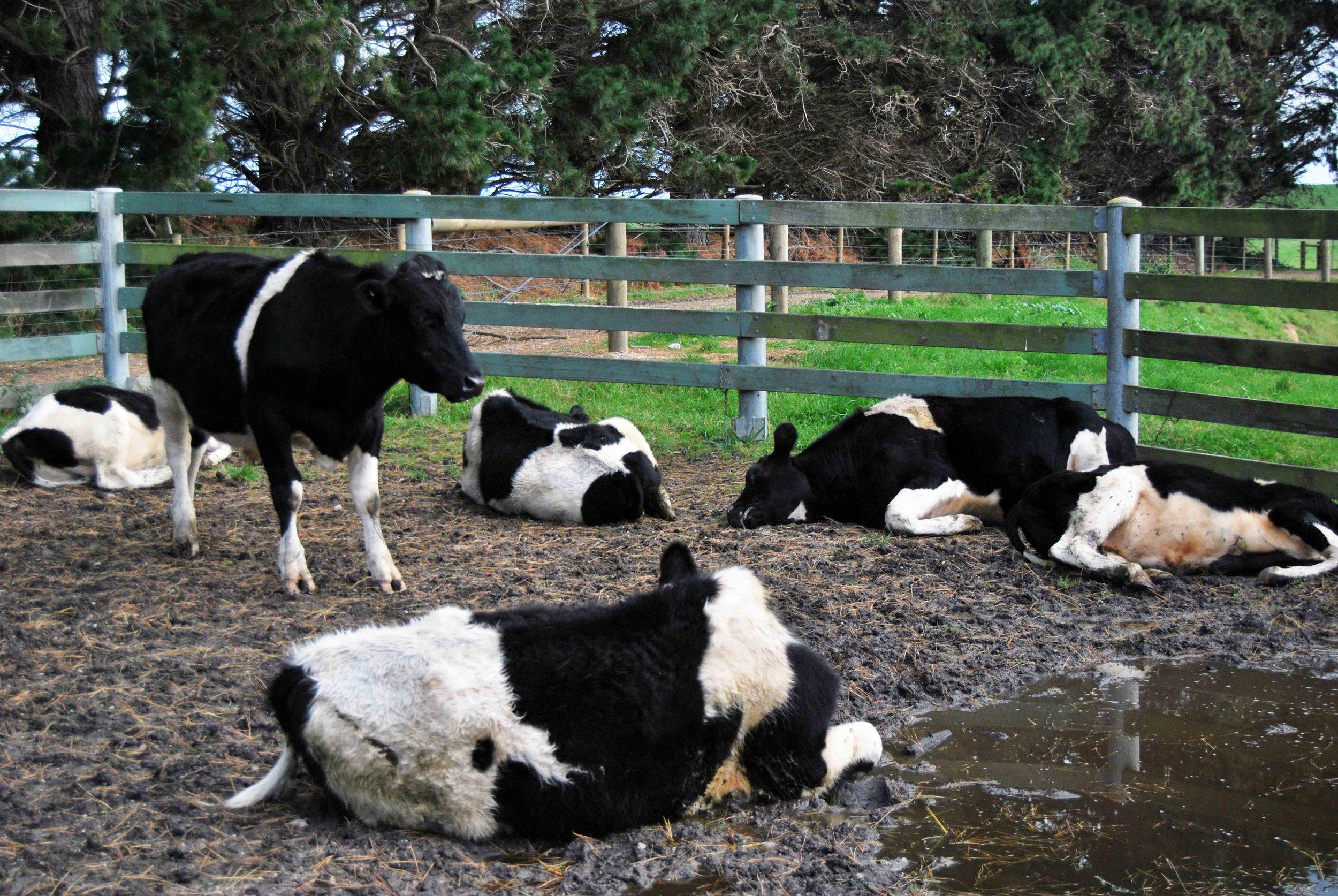 'Cow Sleep'1_2012.jpg