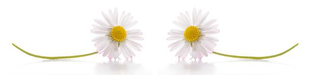 Partyfield-Dorset-daisies.jpg