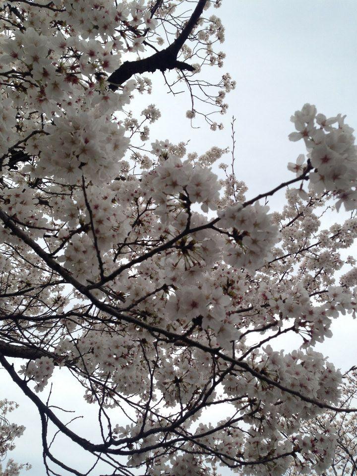 Sakura cherry blossom season in Ueno Park, Tokyo, Japan