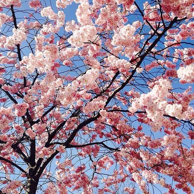 sakura cherry blossom.jpg