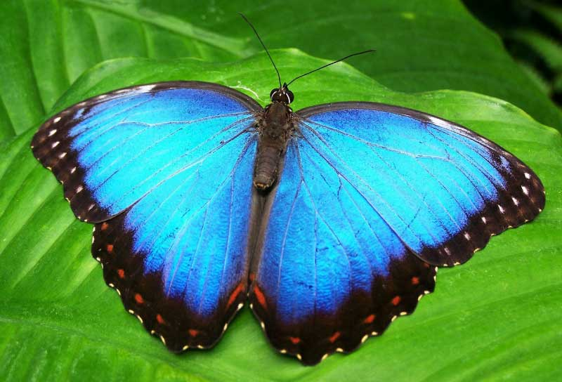 NG_CRBlue-Morpho-Butterfly-Open-Wings.jpg