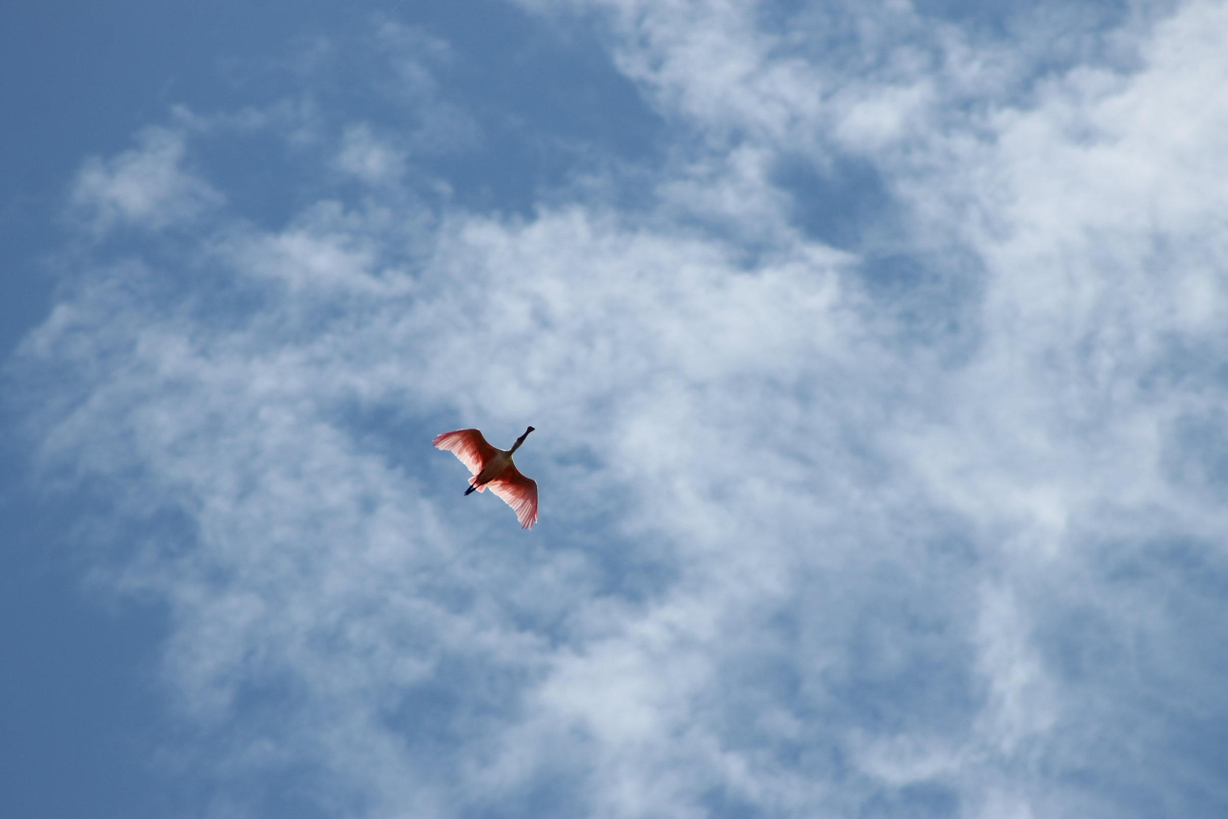 Flying Flamingo.JPG
