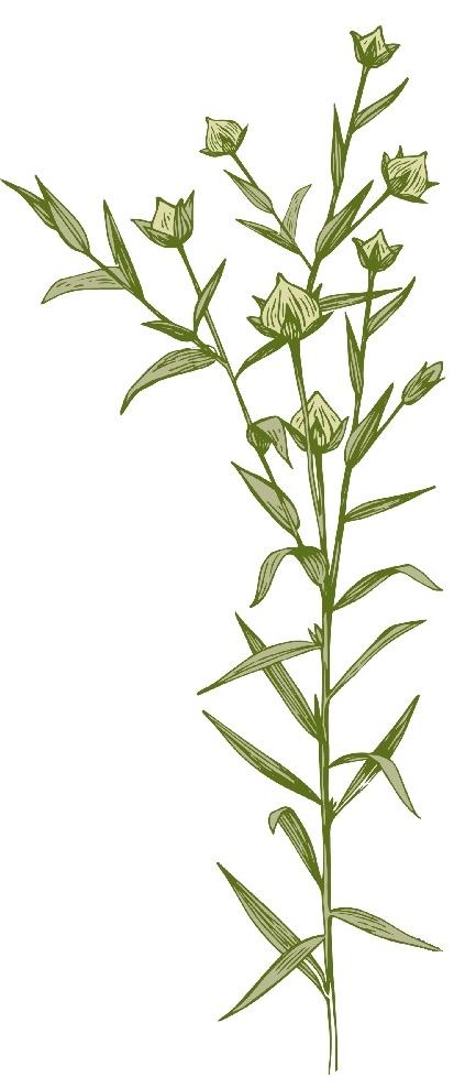 flax buds.jpg
