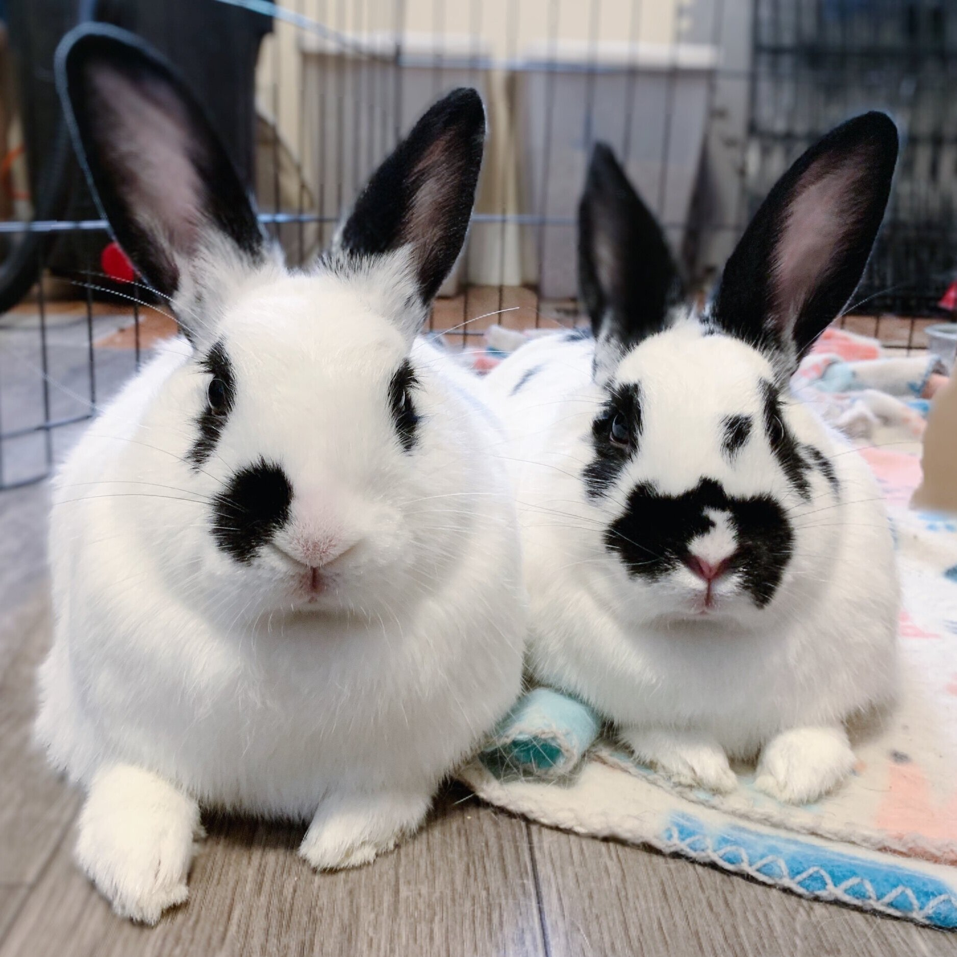 Violet & Domino - Female English Spot Pair