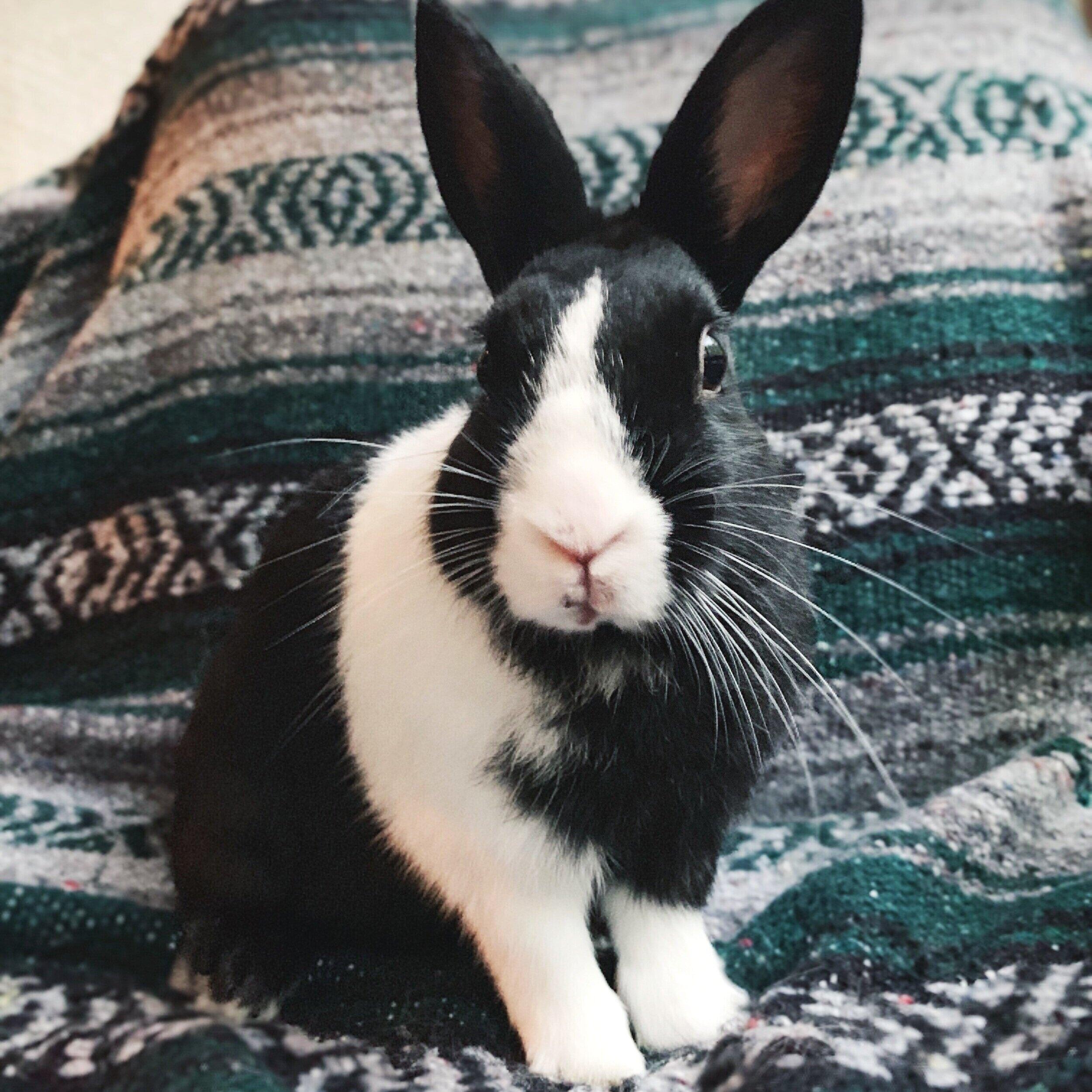Jason - Male Dutch Rabbit Dwarf Mix