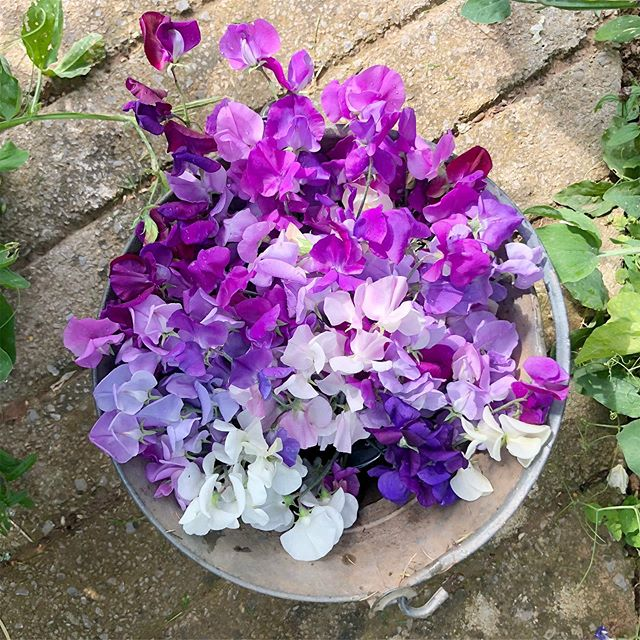 A bucket of locally grown sweetpeas for one of this years weddings. I love adding scented flowers into my weddings and sweetpeas are one of my favourite . . . Alongside stocks, honeysuckle, tuberose, garden roses, to name just a few!