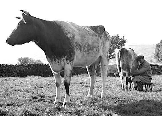 milking in field.jpg