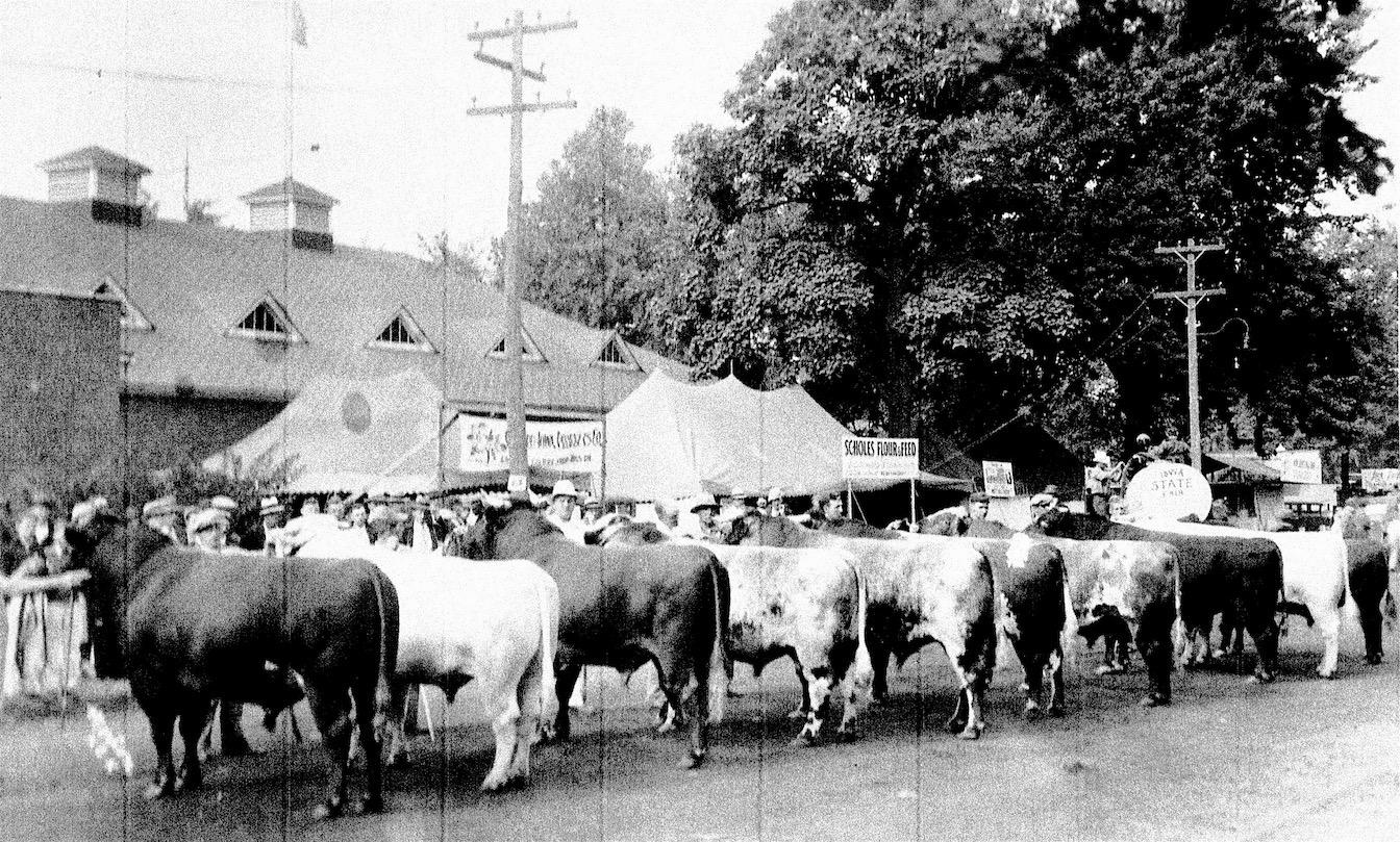 Shorthorns at Iowa St. Fair, 1935