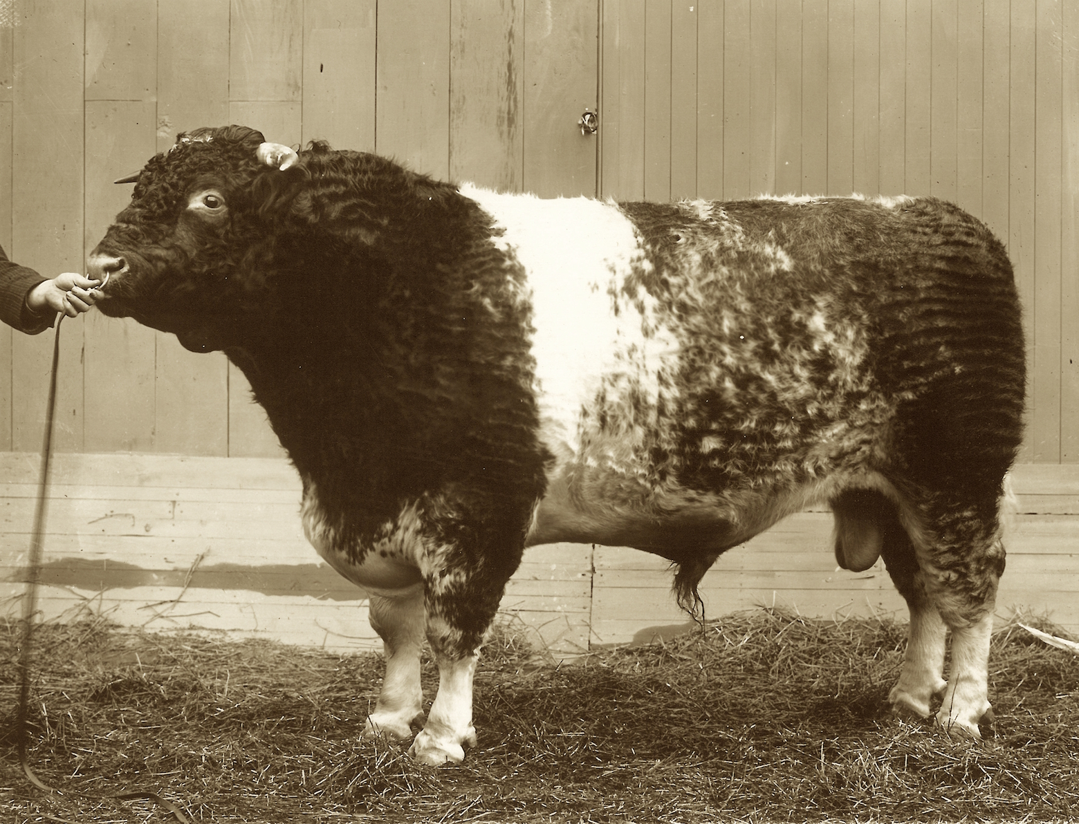 Avondale as a young bull.