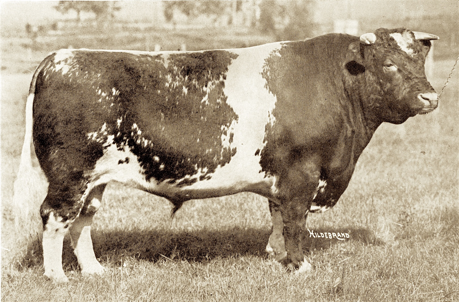 1910, '11, '13 Ringmaster 307894 bred by C.E. Clarke, St. Cloud, MN, shown by White & Smith, Gr. Champ Int'l..jpg