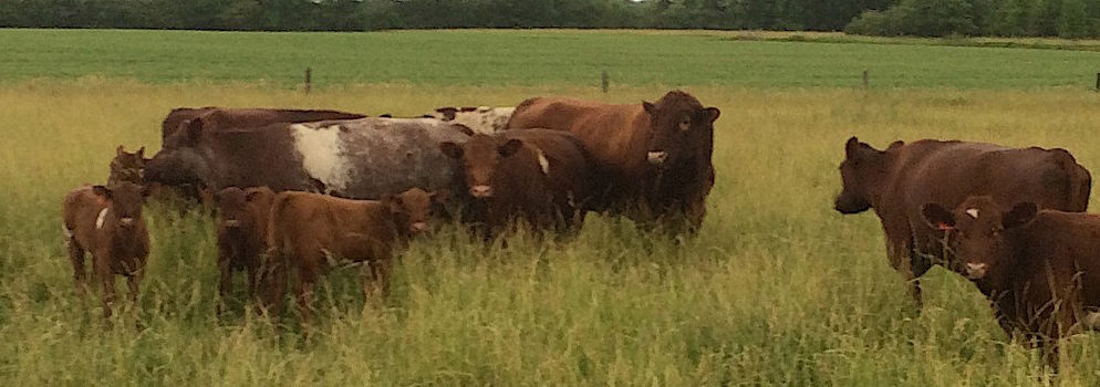 Shorthorns with Wolf Ridge Double Brute