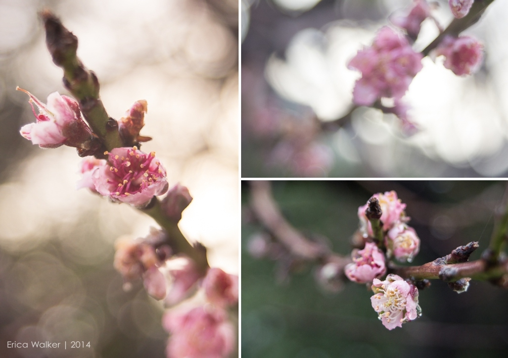 Morning light on peach tree - Erica Faith Photography