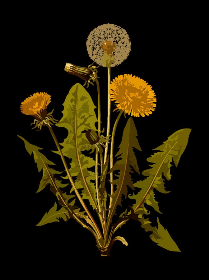 dandelion-1299794_1280.png