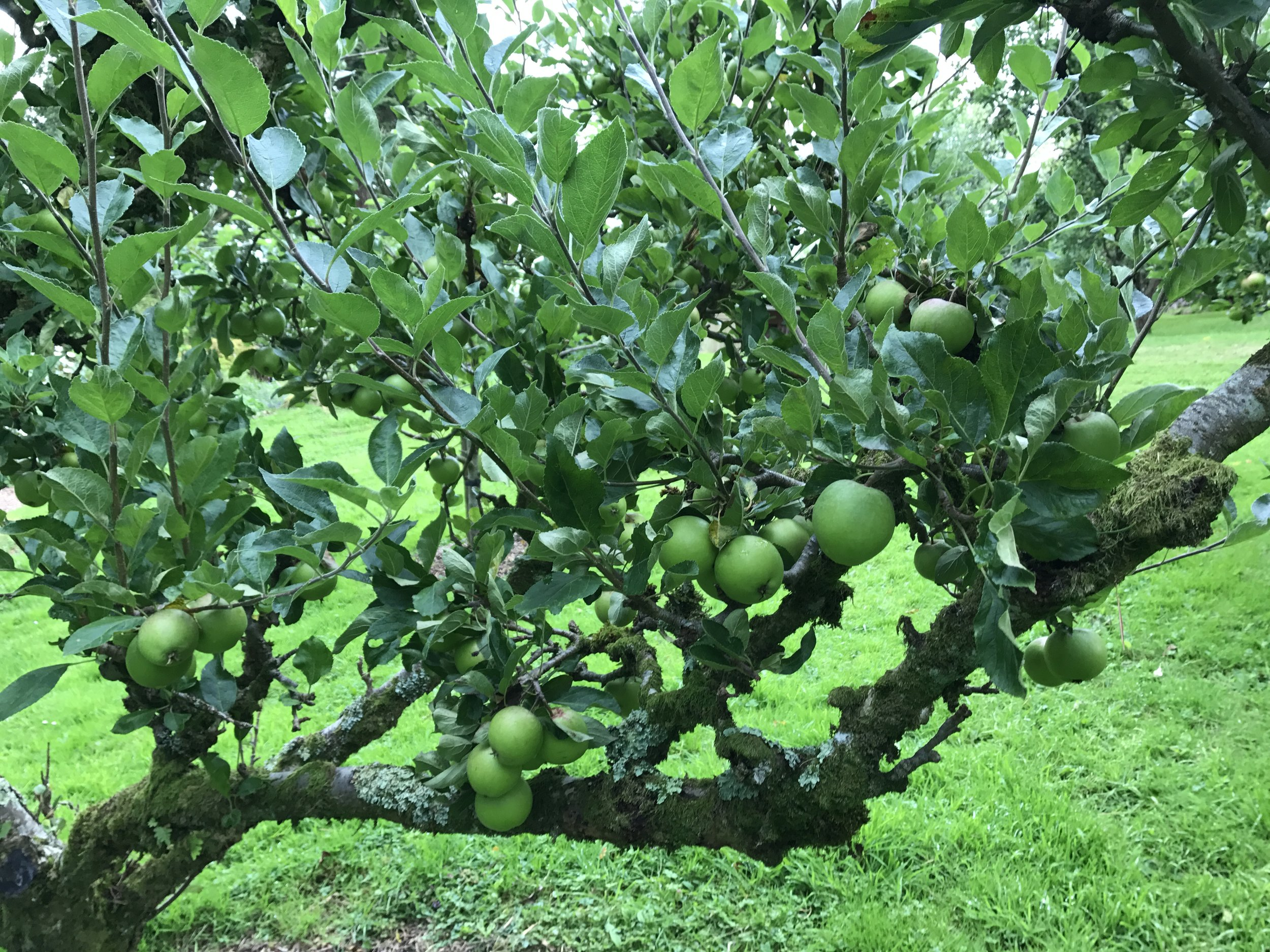 - So began the waiting game  - apple roulette. Nine of the trees are on dwarf rootstock, making the apples easy to pick but also very accessible to even the smallest fallow deer.