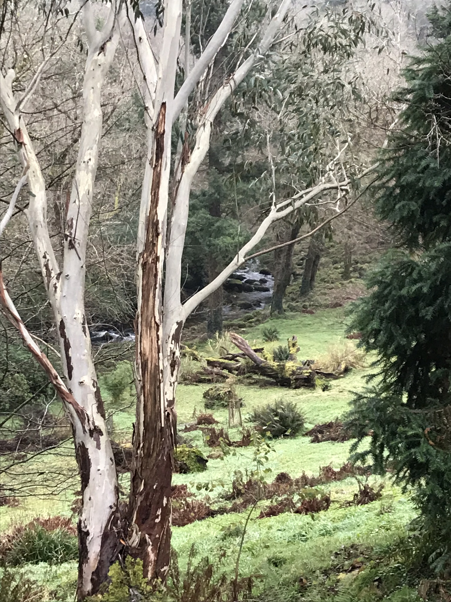 Eucalyptus before the storm
