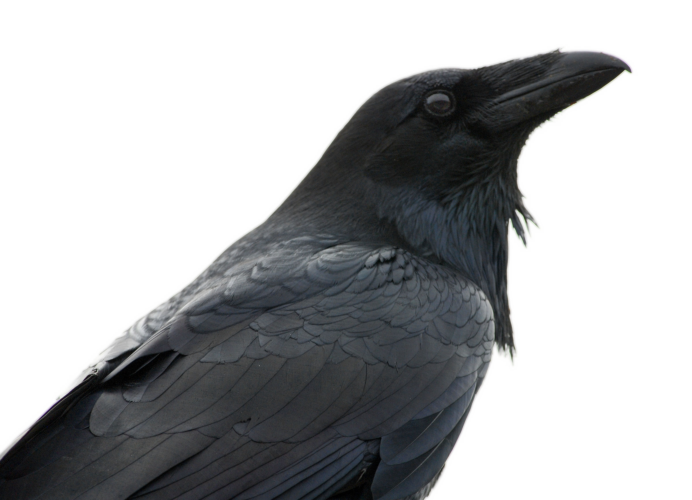 Raven. Photo:  Minette Layne /Flickr (CC BY-NC 2.0)