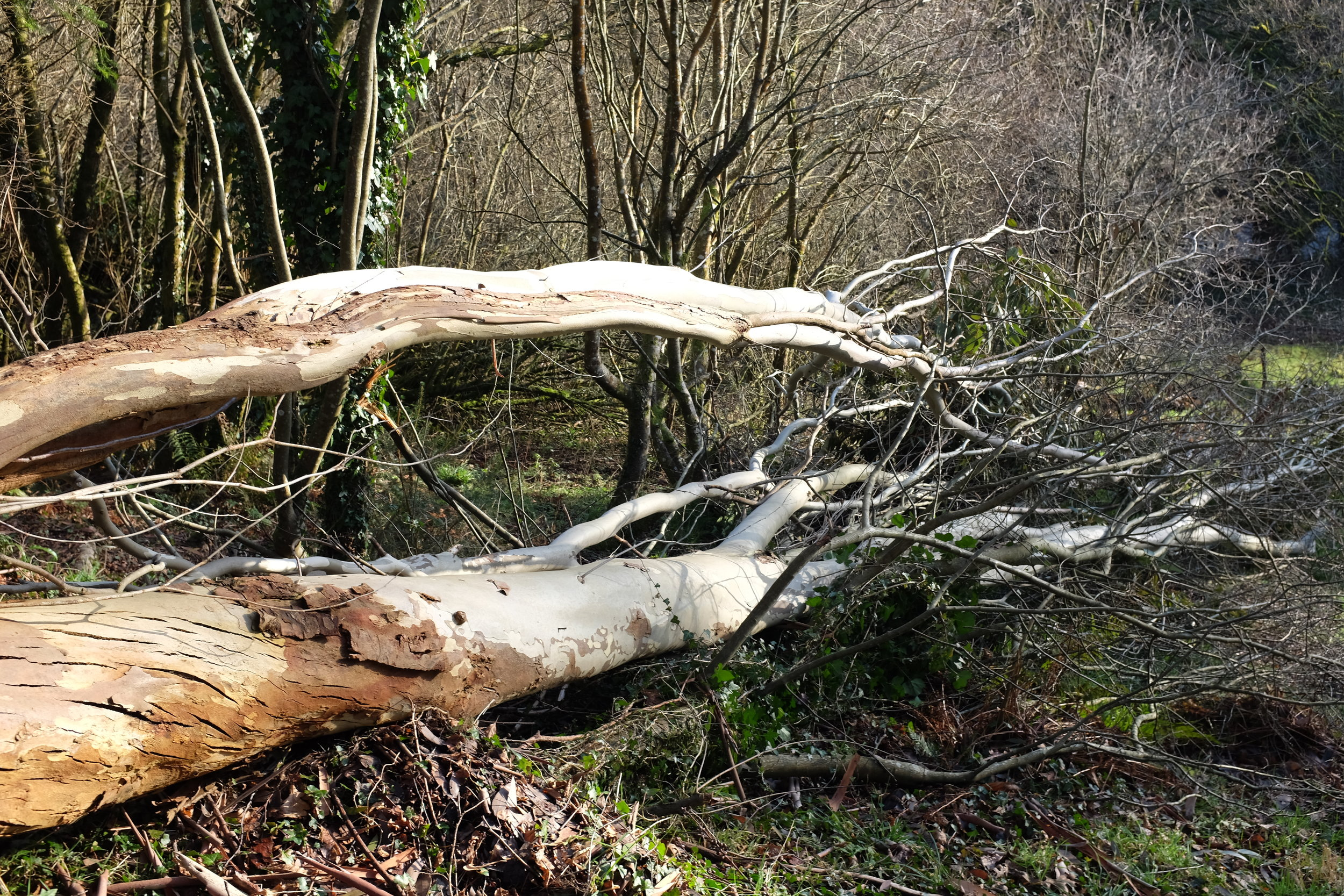 Fallen eucalyptus