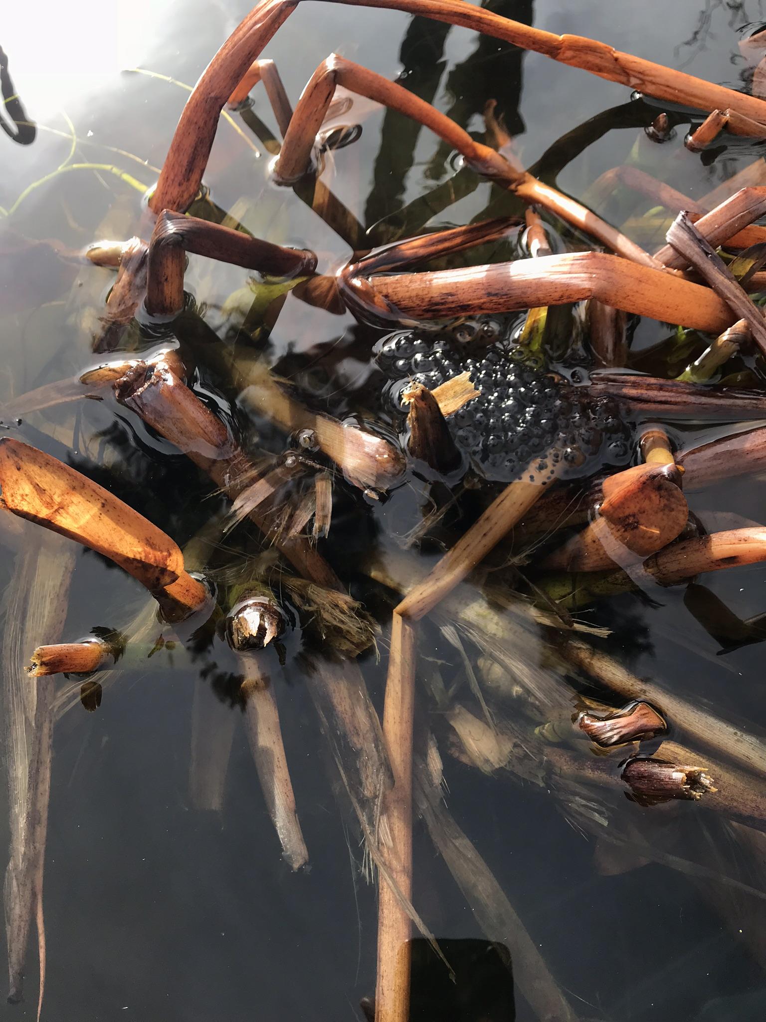 frogspawn10Mar.jpg