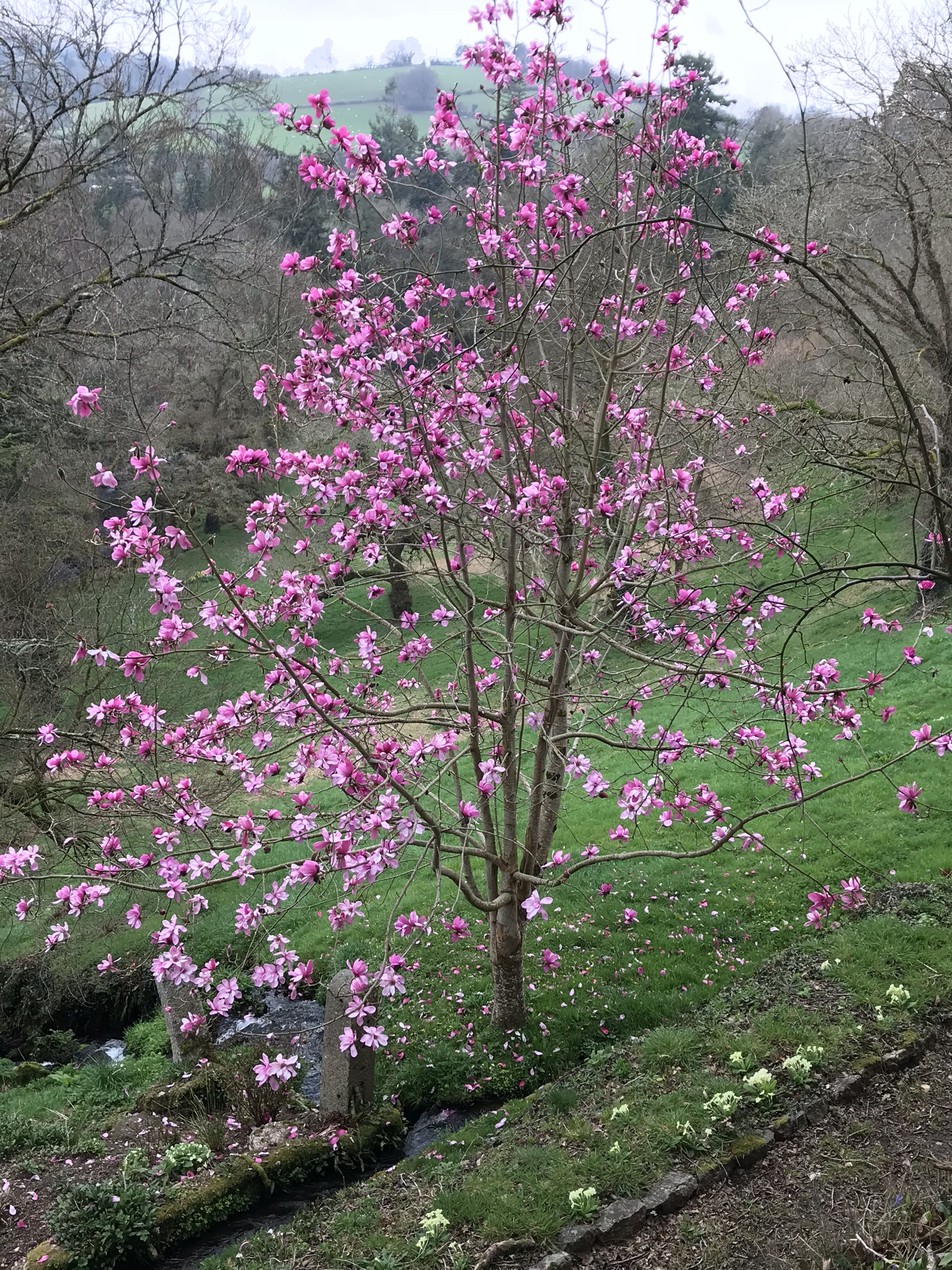 April13_2018-magnolia.jpg