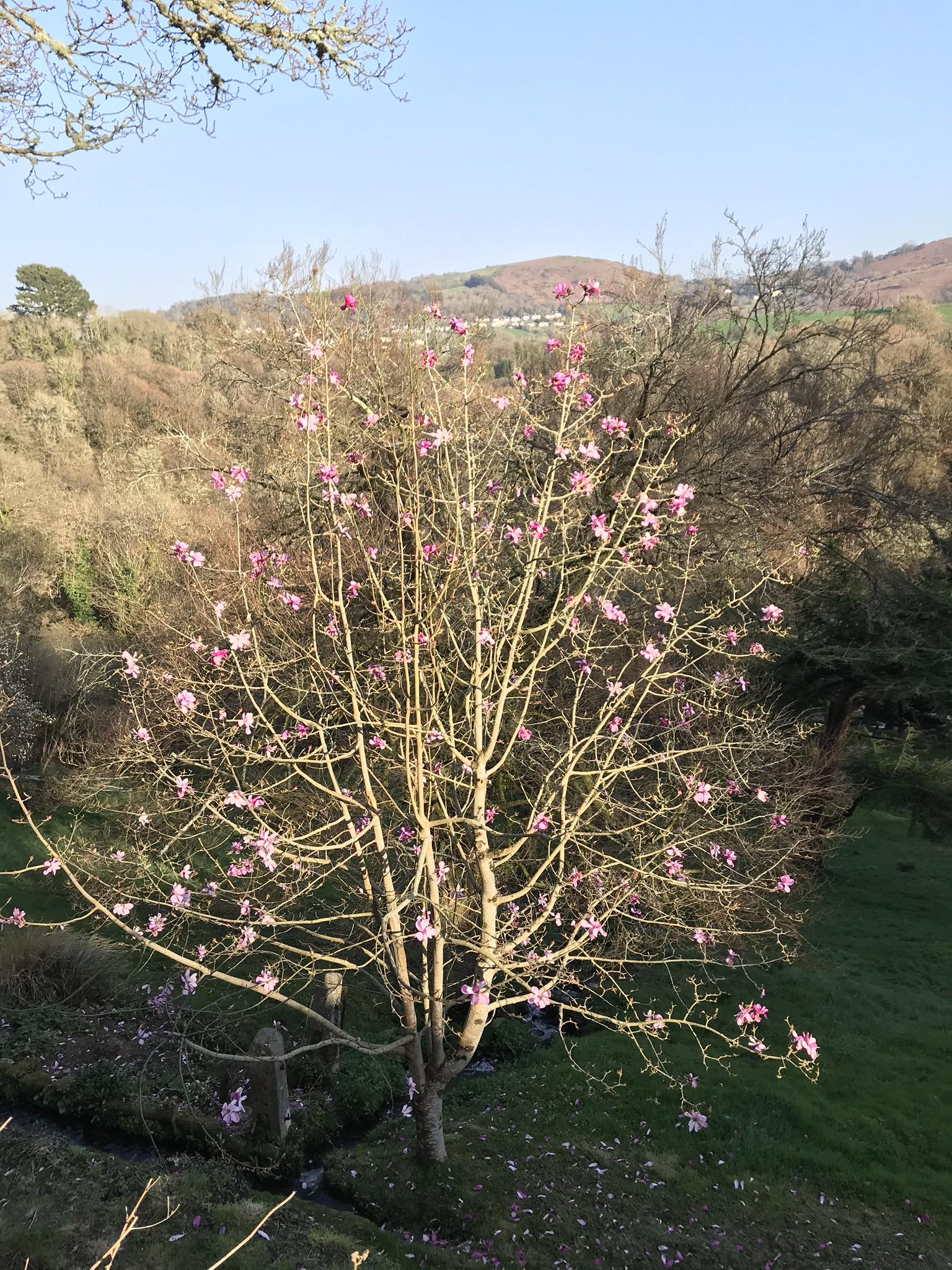 April18_2018_magnolia.jpg
