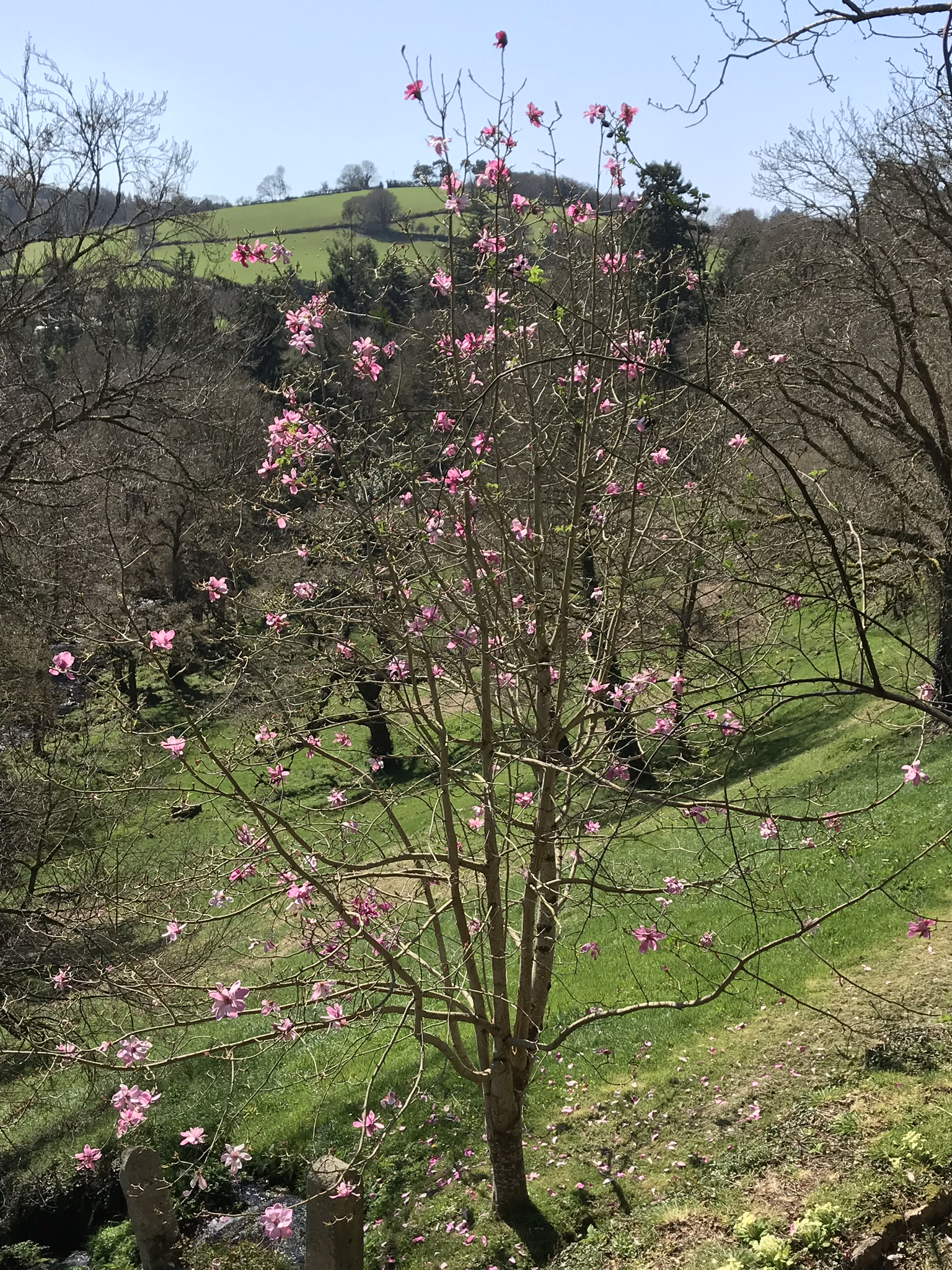 April19_2018_magnolia.jpg