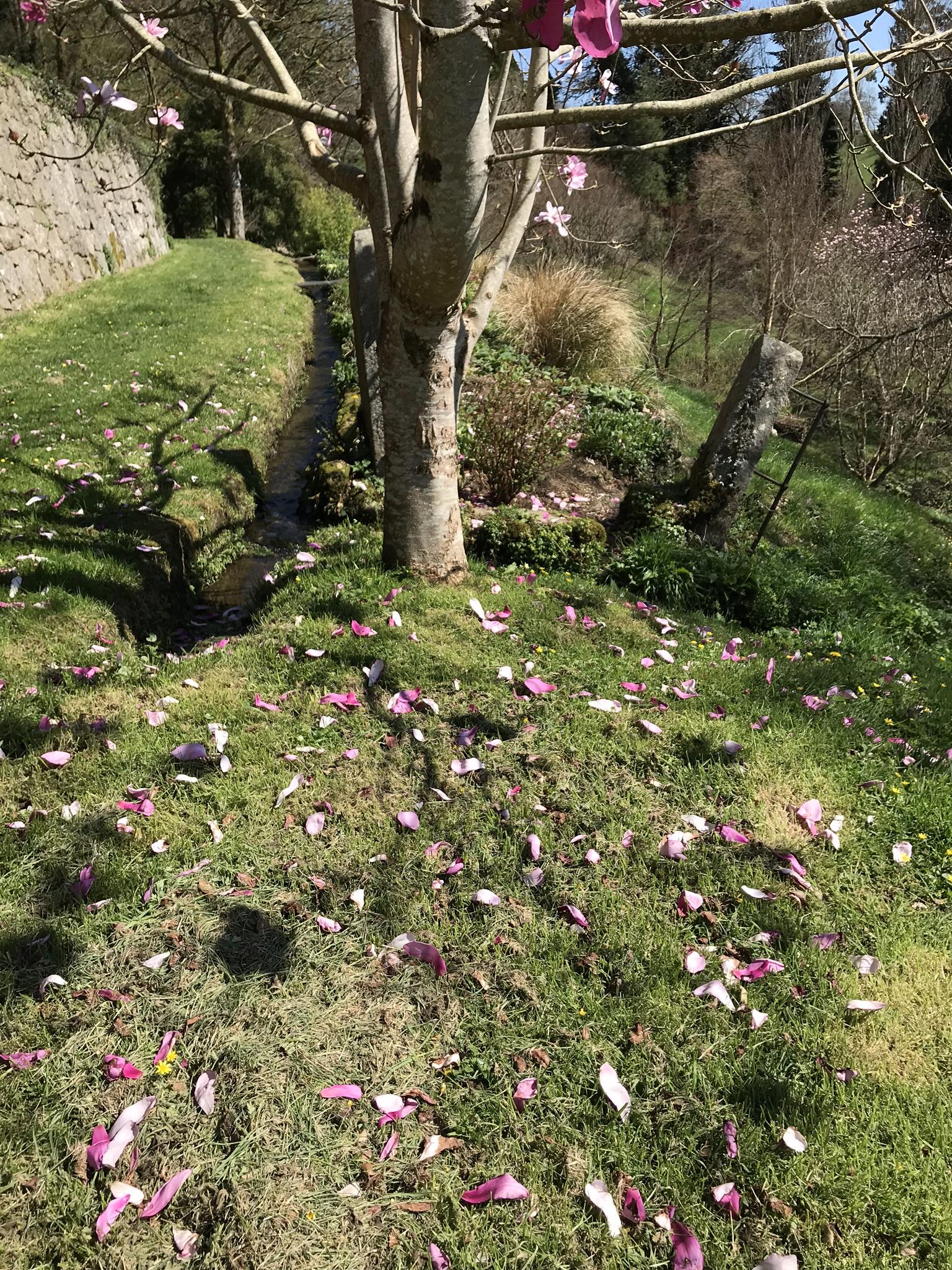 April19_2018_magnolia2.jpg
