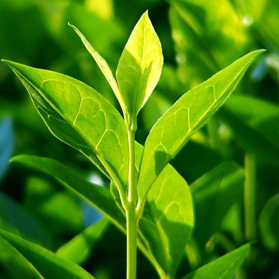 tea-tree.jpg
