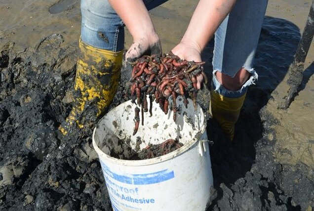 Lugworms, commonly used as fishing bait, will consume plastic particles