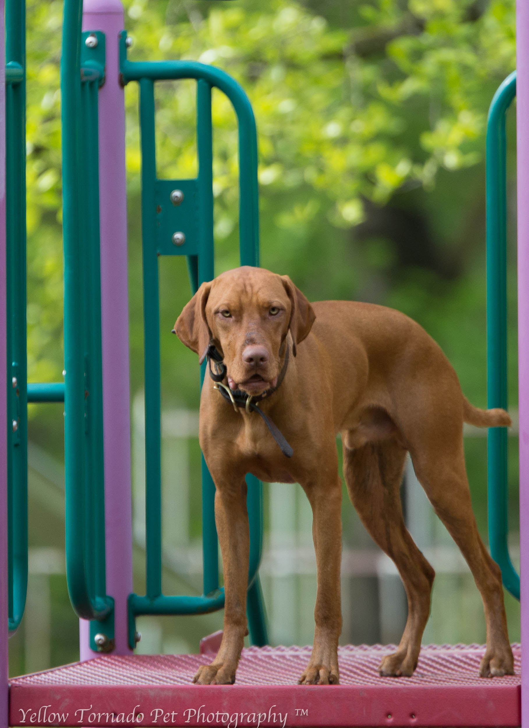 otto the vizsla on playground.jpg