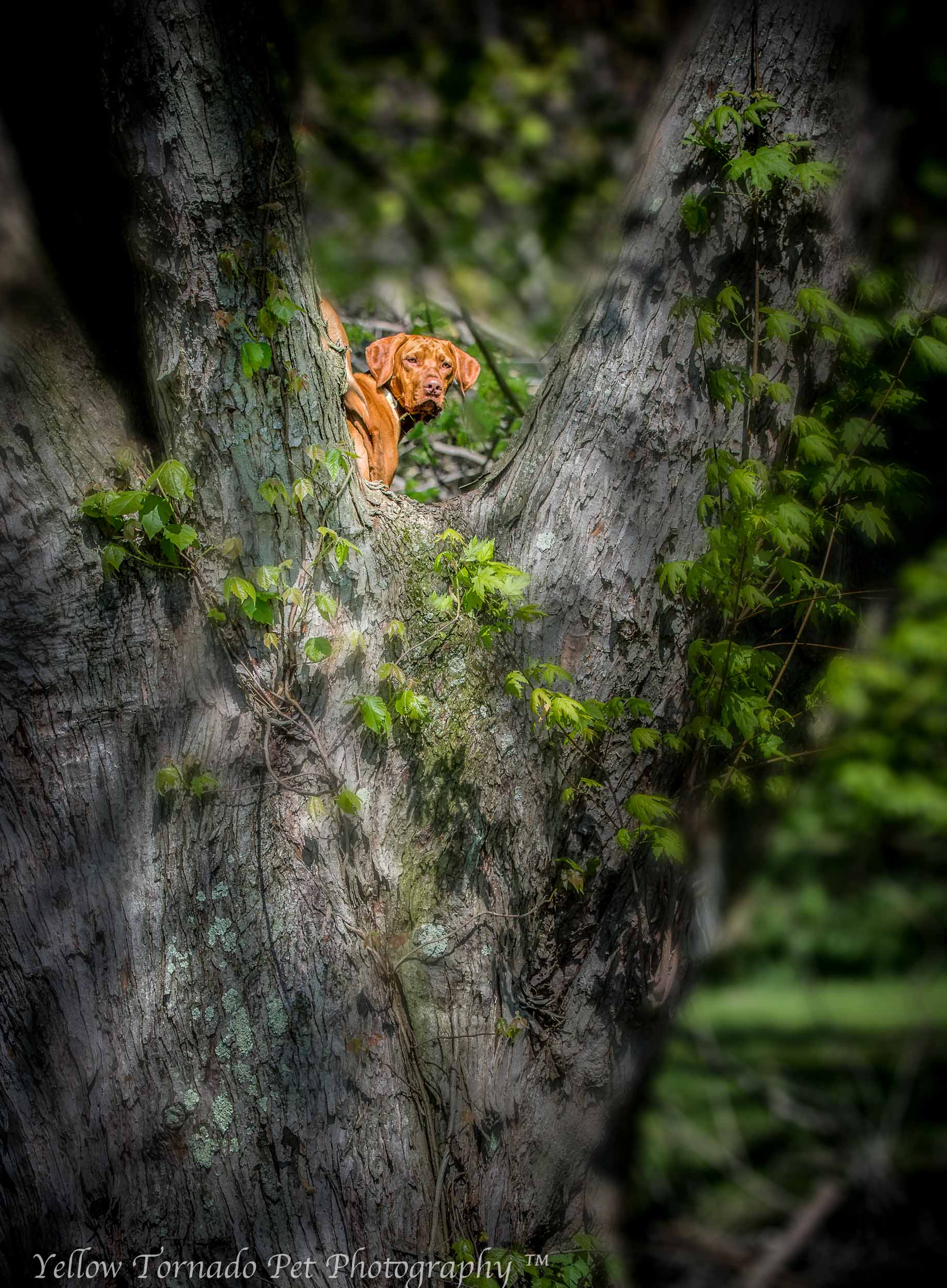 Otto the Vizsla in a tree 2.jpg