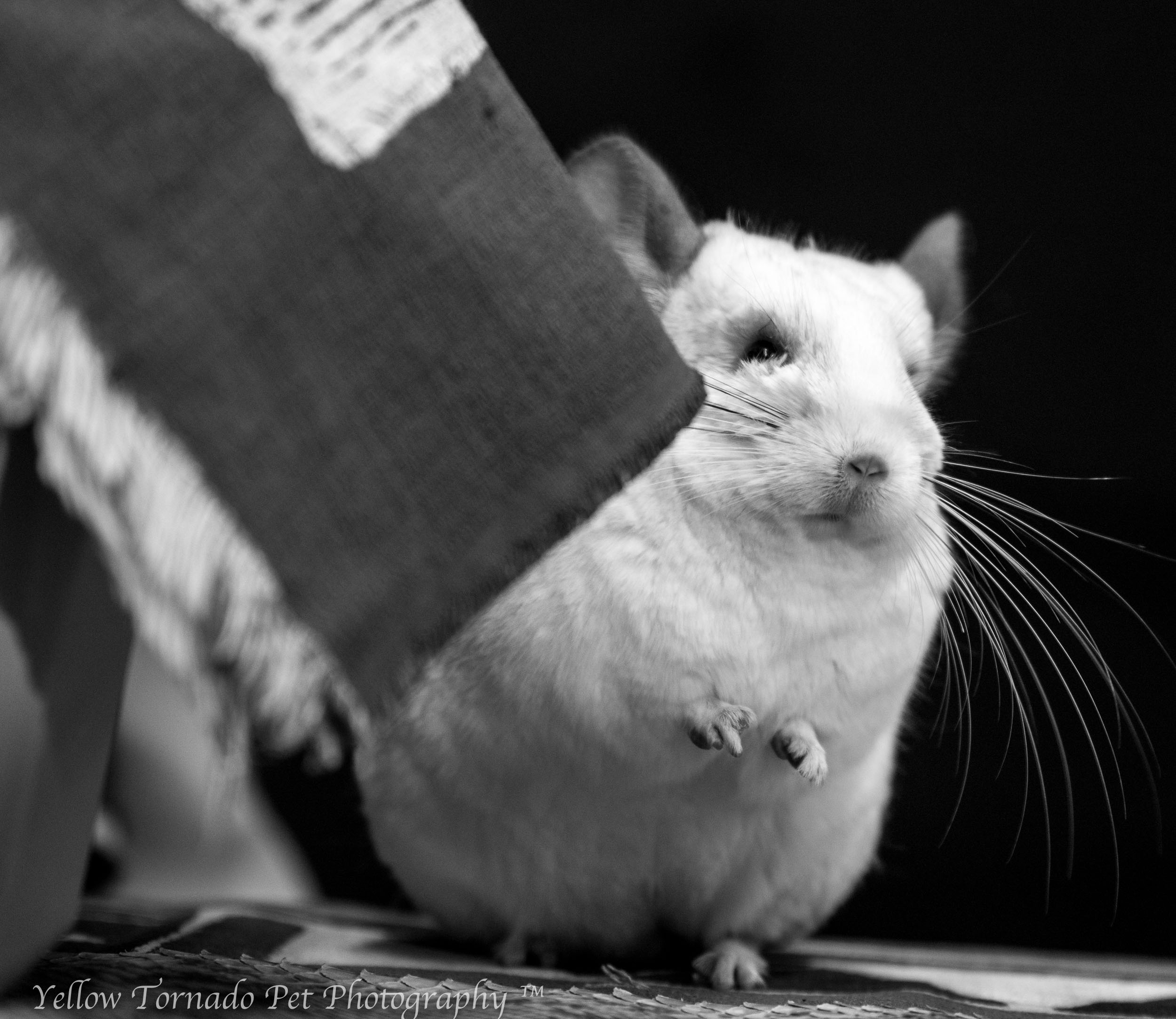 animal embassy chinchilla.jpg