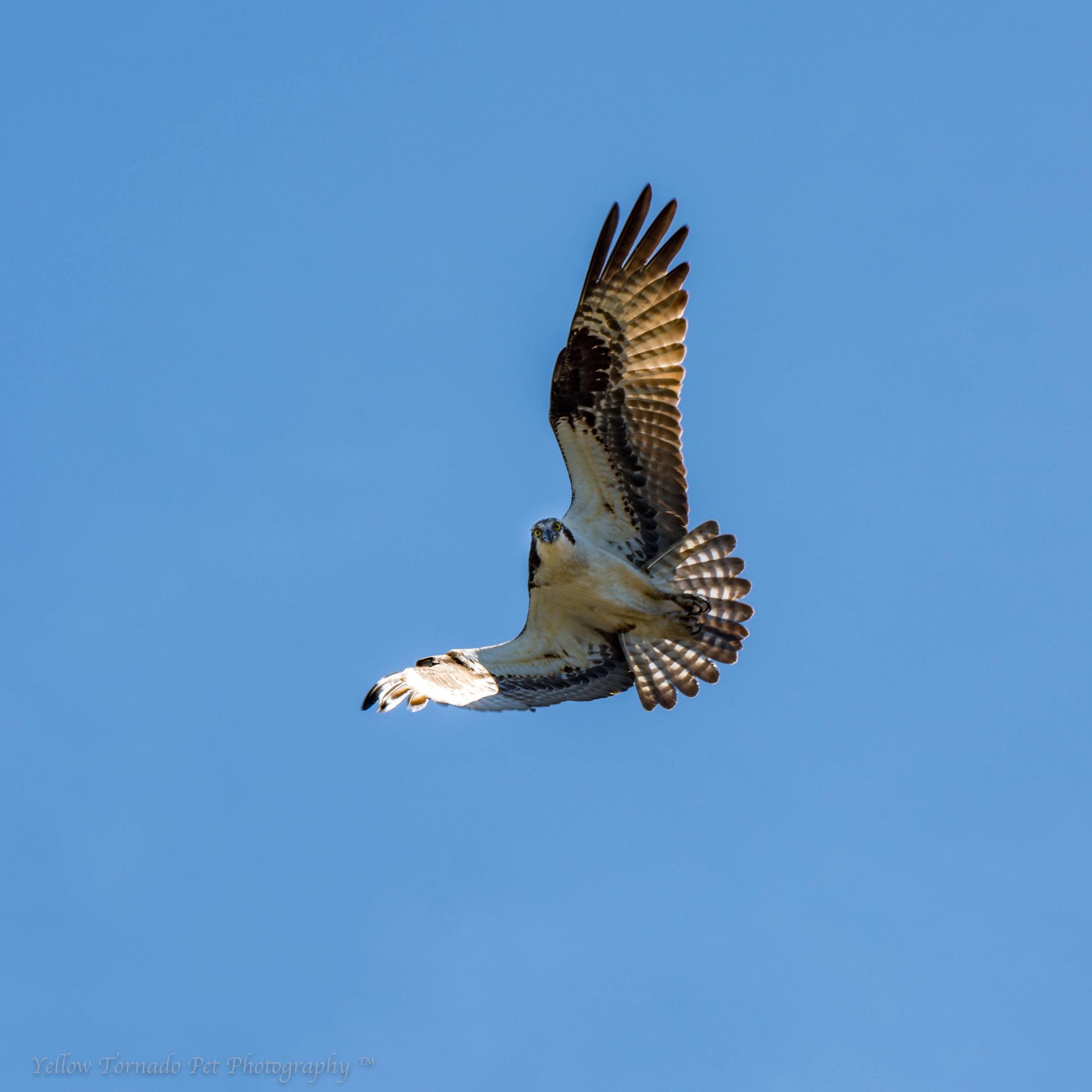 Osprey overhead.jpg
