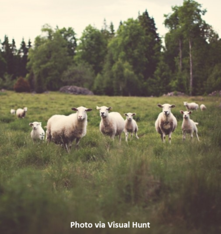sheep-attributed-e1511222733291.png