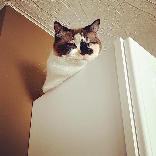 """Ah, the angsty teenage years. I say, """"don't you get up there!"""" and she says """"I do what I want."""" 🤦♀️🤷♀️ #catmomlife #catmomprobs #snowshoecat"""