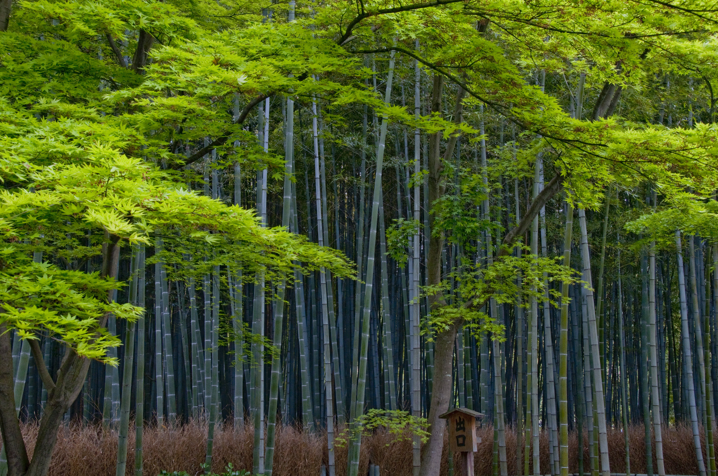 Bamboo Forests of Kyoto, Japan
