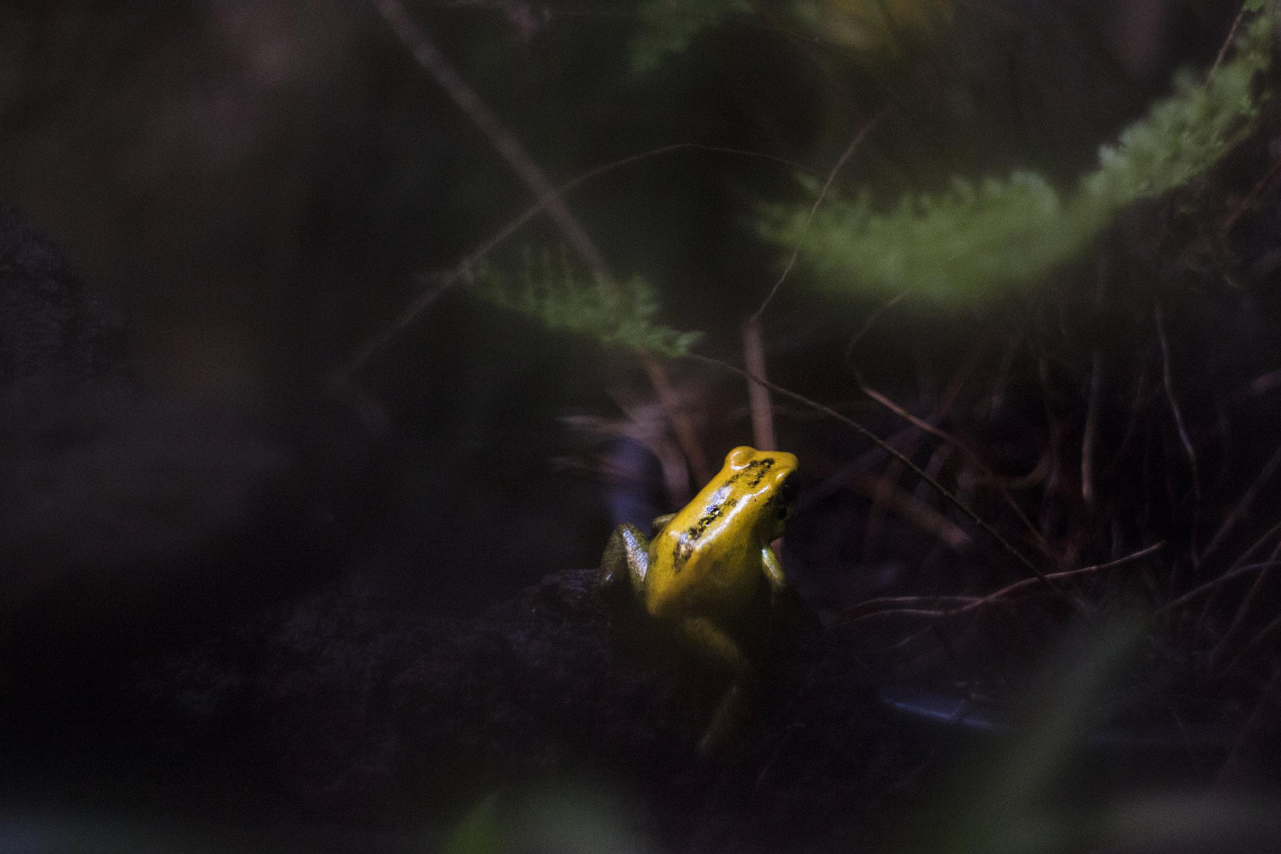 dart frog.jpeg